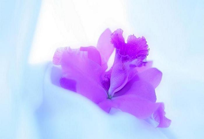 Ger�ek boyutunda g�r�nt�lemek i�in resme t�klay�n.  Ad�:  My_Mothers_Orchid.jpg G�sterim: 929 Boyutu:  17.7 KB