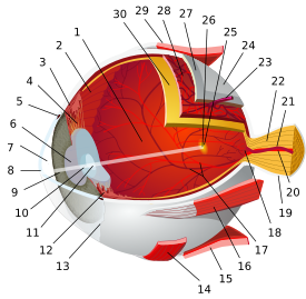 Ger�ek boyutunda g�r�nt�lemek i�in resme t�klay�n.  Ad�:  Eye-diagram_no_circles_border.svg.png G�sterim: 72 Boyutu:  82.7 KB
