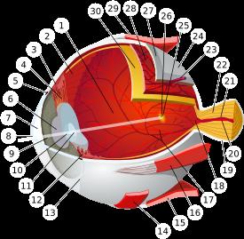 Tam boyut i�in resme t�klay�n.  Ad�:  Eye-diagram_no_circles_border.svg.png G�sterim: 72 Boyutu:  82.7 KB ID: 17558