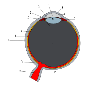 Ger�ek boyutunda g�r�nt�lemek i�in resme t�klay�n.  Ad�:  Schematic_diagram_of_the_human_eye.svg.png G�sterim: 75 Boyutu:  21.8 KB