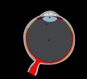 Tam boyut i�in resme t�klay�n.  Ad�:  Schematic_diagram_of_the_human_eye.svg.png G�sterim: 75 Boyutu:  21.8 KB ID: 17559