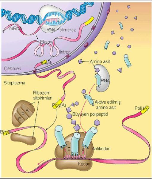 Ad:  510px-Protein_sentezi.JPG Gösterim: 5632 Boyut:  53.8 KB