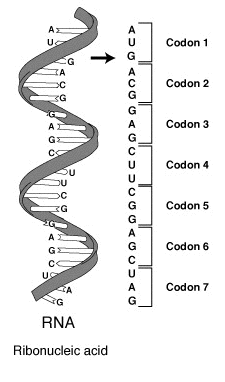 Ad:  RNA-codons.png Gösterim: 242 Boyut:  16.3 KB