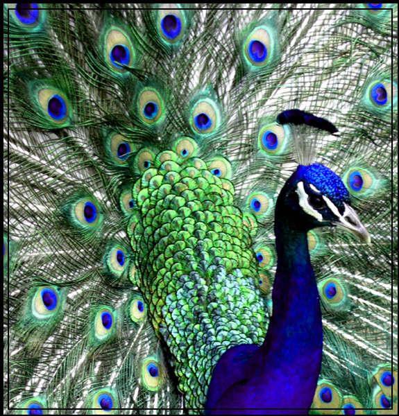 Ad:  peacock_by_greenfroggies.jpg Gösterim: 488 Boyut:  106.2 KB
