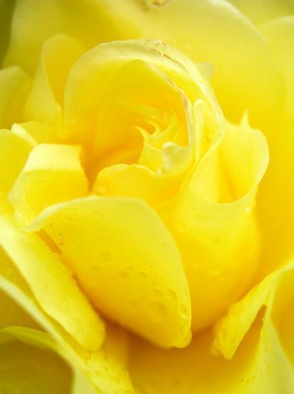 Ad:  Yellow_wet_rose_by_lexidh.jpg Gösterim: 350 Boyut:  18.1 KB