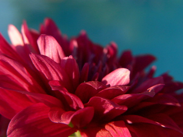 Ad:  Cherry_Chrysanthemum_III_by_LiZn.jpg Gösterim: 601 Boyut:  40.8 KB