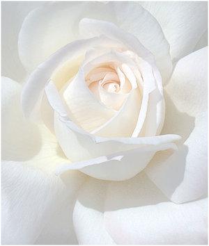 Ad:  WHITE_ROSE_by_THOM_B_FOTO.jpg Gösterim: 666 Boyut:  16.3 KB