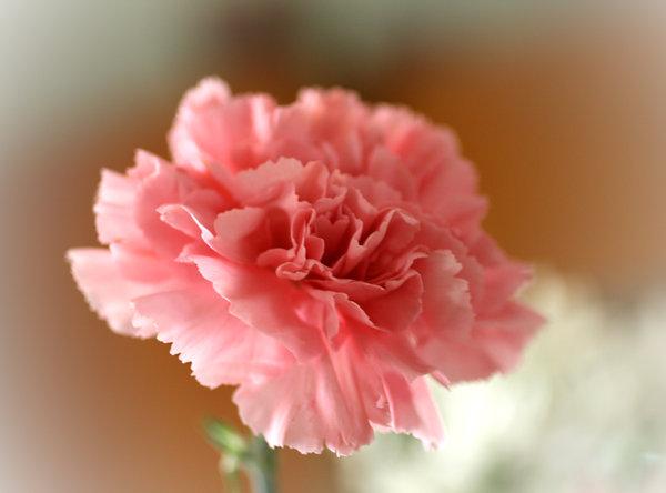 Ad:  Pink_Carnation_by_artstarter.jpg Gösterim: 707 Boyut:  34.9 KB