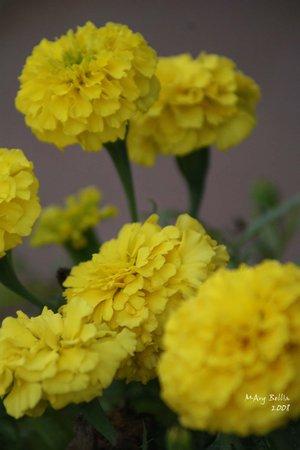Ad:  Yellow_Carnation_by_xXPayneXx.jpg Gösterim: 657 Boyut:  21.0 KB