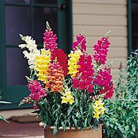 Aslana�z� (Antirrhinaceae)-aslanagzi-cicegi.jpg