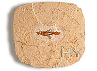 Fosillere Ait Resimler-si0002-orthoptera.jpg