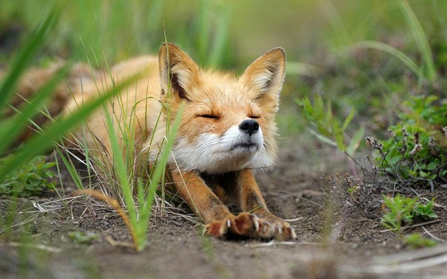 Ad:  4924805-R3L8T8D-650-amazing-fox-photos-3.jpg