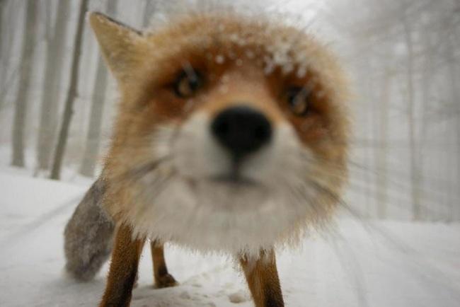 Ad:  4926205-R3L8T8D-650-amazing-fox-photos-20-2.jpg Gösterim: 72 Boyut:  61.1 KB