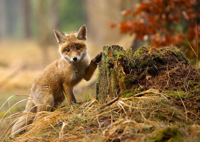 Ad:  4926305-R3L8T8D-650-amazing-fox-photos-25.jpg Gösterim: 63 Boyut:  135.4 KB