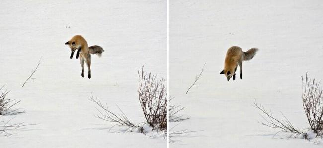 Ad:  4926405-R3L8T8D-650-amazing-fox-photos-28-2.jpg Gösterim: 80 Boyut:  52.5 KB