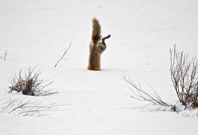 Ad:  4926505-R3L8T8D-650-amazing-fox-photos-28.jpg Gösterim: 80 Boyut:  83.0 KB