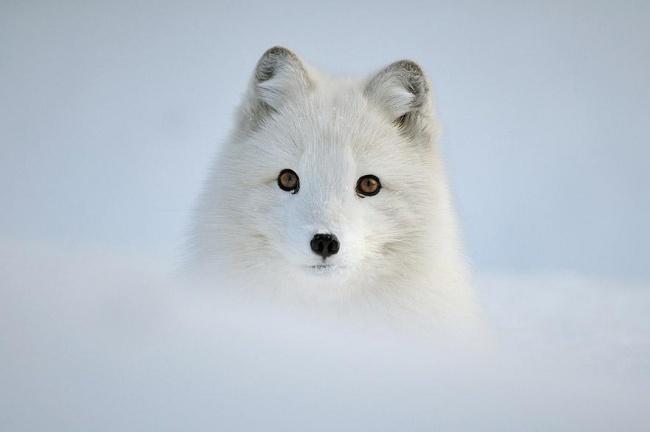 Ad:  4926605-R3L8T8D-650-amazing-fox-photos-5.jpg Gösterim: 58 Boyut:  42.0 KB