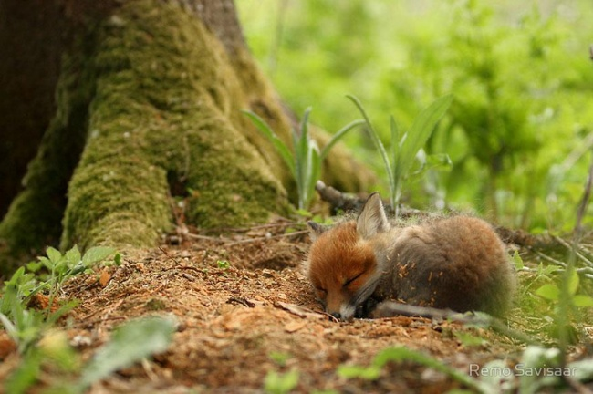 Ad:  4925605-R3L8T8D-650-amazing-fox-photos-11.jpg Gösterim: 97 Boyut:  106.8 KB
