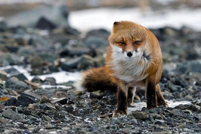 Ad:  4926005-R3L8T8D-650-amazing-fox-photos-8.jpg Gösterim: 91 Boyut:  120.1 KB