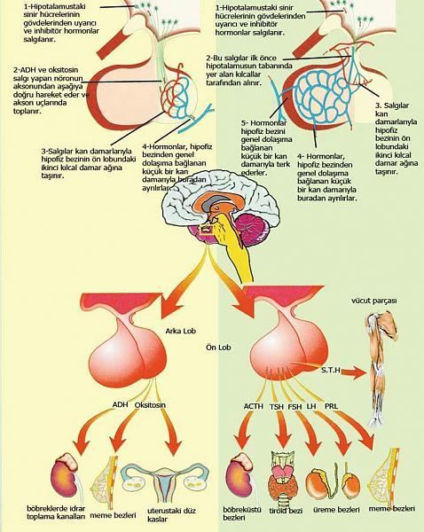 Ad:  Hormonal sistem.jpg Gösterim: 3411 Boyut:  59.3 KB