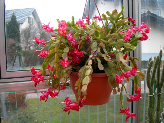 Ad:  Early-Christmas-Cactus.jpg G�sterim: 580 Boyut:  80.2 KB