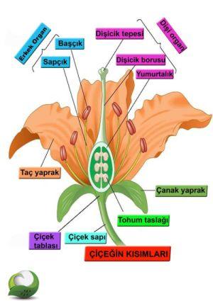 46579d1459634136 bitki anatomisi cicek cicek yapisi