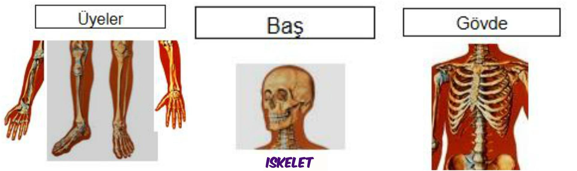 Ad:  iskelet2.jpg Gösterim: 10585 Boyut:  75.1 KB