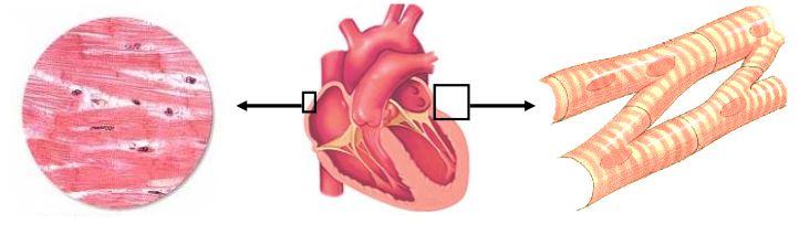 Ad:  kalp kası.JPG Gösterim: 1574 Boyut:  29.8 KB
