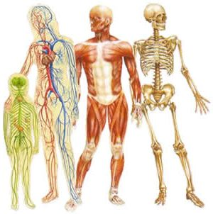 Ad:  anatomi1.jpg Gösterim: 1760 Boyut:  19.4 KB