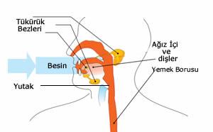 48279d1461946528 sindirim sistemi nedir sindirim sisteminin yapisi ve gorevleri agiz