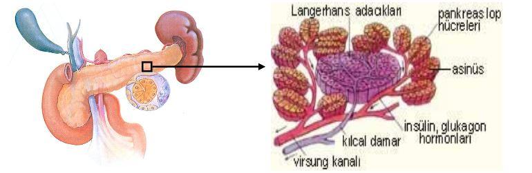 Ad:  pankreas1.JPG Gösterim: 382 Boyut:  38.3 KB