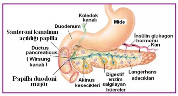 Ad:  pankreas1.JPG Gösterim: 3597 Boyut:  50.9 KB