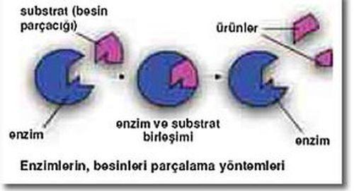 Ad:  enzim4.jpg G�sterim: 355 Boyut:  20.7 KB