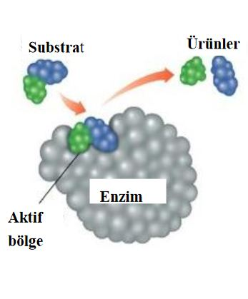 48473d1462222385 enzim nedir enzimler hakkinda e7