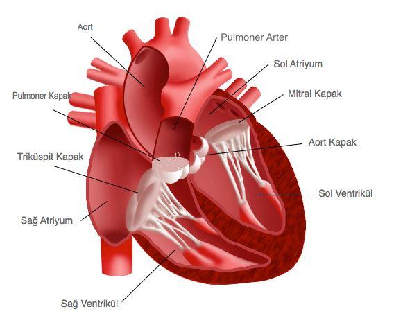Ad:  kalp6.JPG Gösterim: 1059 Boyut:  40.7 KB