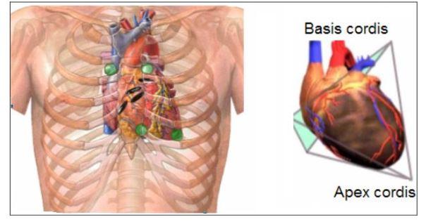 48555d1462639344 kalp nedir kalbin yapisi ve gorevleri k1