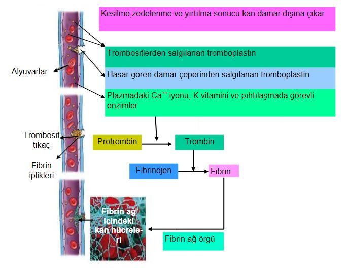 48697d1462855418 kan nedir kanin yapisi ozellikleri ve gorevleri kan6