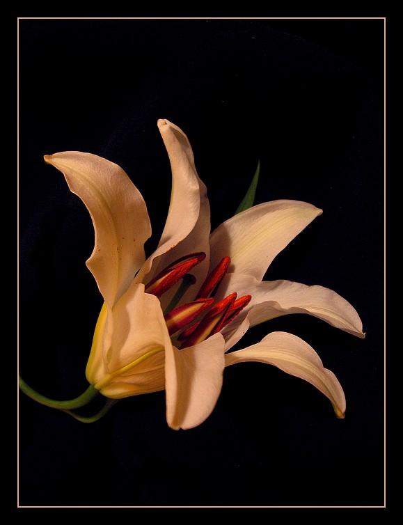 Ad:  lily2.jpg Gösterim: 187 Boyut:  61.0 KB