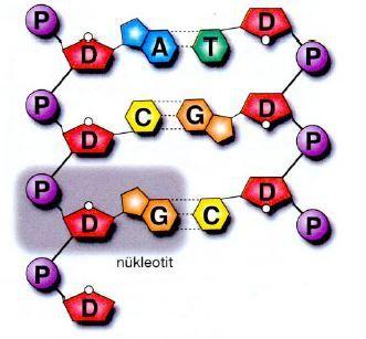 50364d1465479311 dna deoksiribo nukleik asit dna4