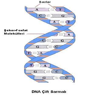 50366d1465479865 dna deoksiribo nukleik asit dna6