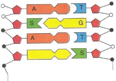50367d1465479865 dna deoksiribo nukleik asit dna7