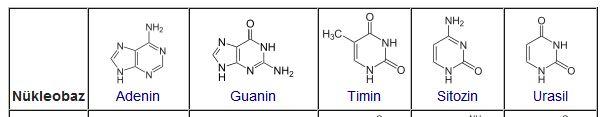 50712d1465776447 nukleobazlar nukleotit bazlari baz1