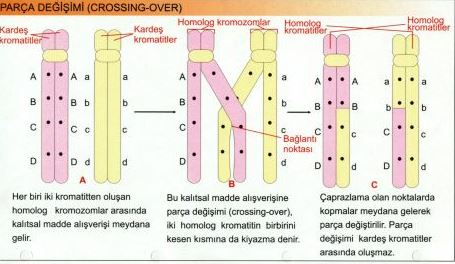 50926d1465954183 kromozom nedir kromozomlarin yapisi ozellikleri ve gorevleri kr1
