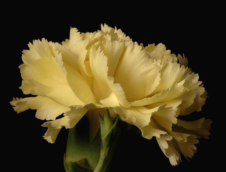 Ad:  carnation2.jpg Gösterim: 231 Boyut:  31.1 KB
