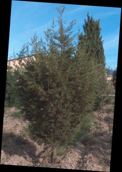 Ad:  juniperus.jpg Gösterim: 690 Boyut:  36.8 KB