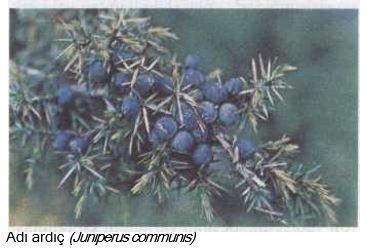 52494d1467760513 ardic juniperus communis ardic