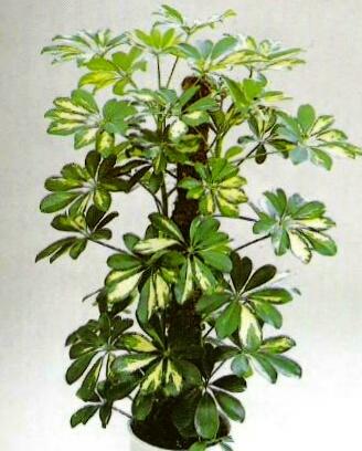 Yaprakl salon bitkileri ve bak m for Salon cicekleri yapay