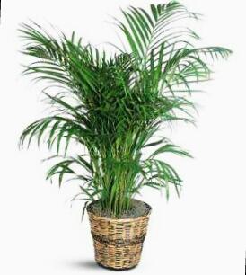Ad:  salon bitkisi.jpg Gösterim: 21709 Boyut:  60.3 KB