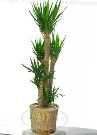 Ad:  Yucca.jpg G�sterim: 43 Boyut:  85.3 KB