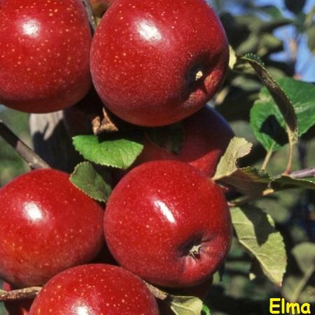 Ad:  kırmızı elma.jpg Gösterim: 718 Boyut:  76.8 KB
